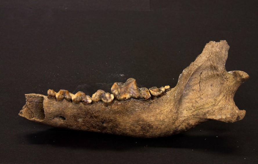 Hundens föregångare skiljdes från vargen redan någon gång mellan 27 000 och 40 000 år sedan. Det visar en ny studie från Stockholms Universitet. Foto: Love Dalén
